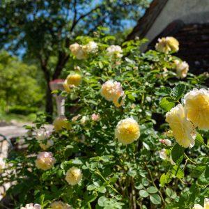 Un des rosiers de la propriété